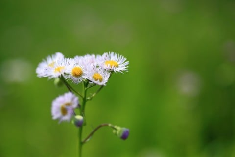春紫苑 ハルジオン 花 全体