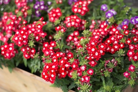 バーベナ 花壇