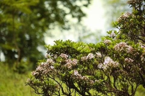 カルミア 庭 花