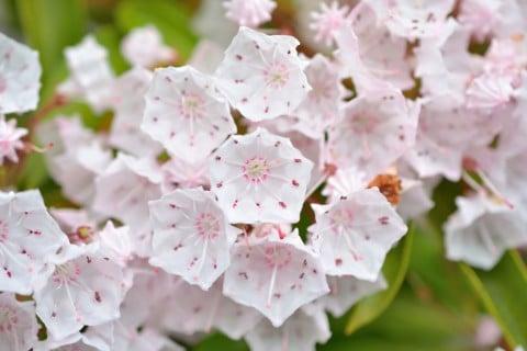 カルミア 花 いっぱい