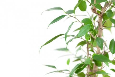 月桂樹 葉