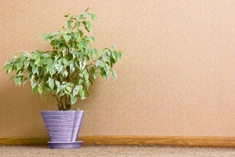 月桂樹 鉢