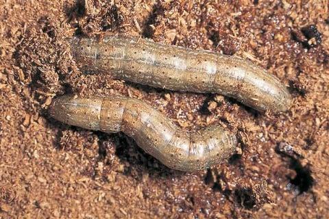 要出典 ネキリムシ 幼虫