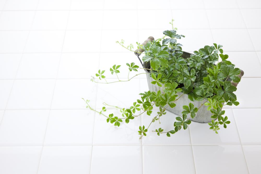 人気観葉植物シュガーバイン