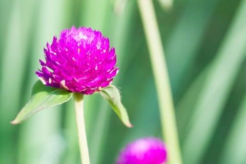 千日紅 花 紫 アップ