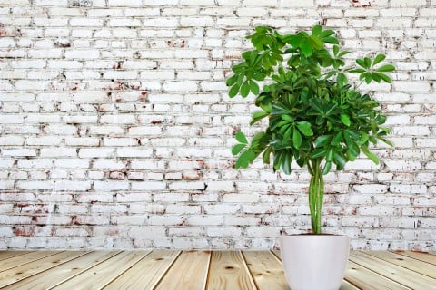 シェフレア カポック 観葉植物 屋内 壁