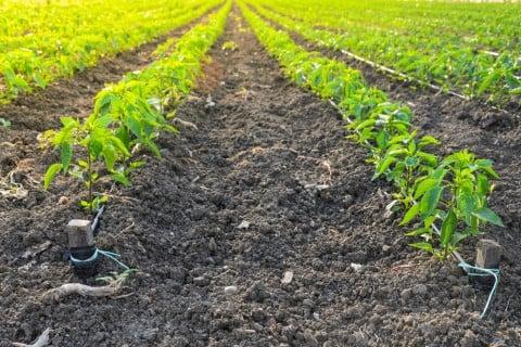 ピーマン 地植え 畑