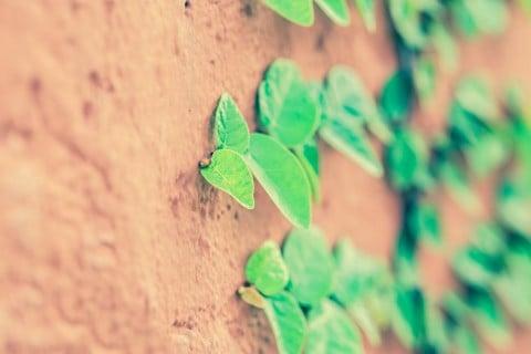 Ficus pumila フィカス・プミラ 赤レンガ