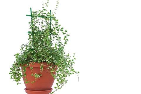 Ficus pumila フィカス・プミラ 鉢