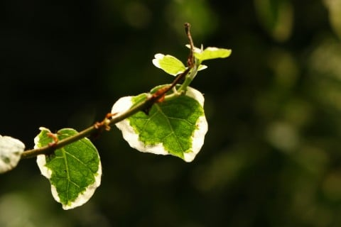 Ficus pumila フィカス・プミラ 葉