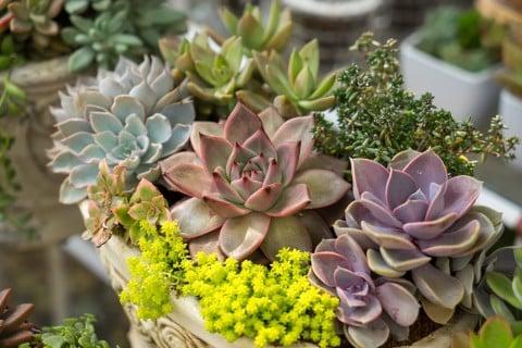 エケベリア 種類 多肉 植物 鉢