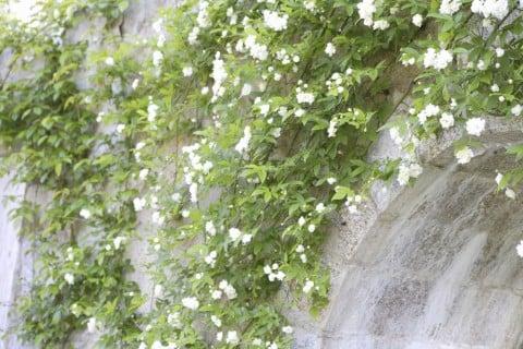 モッコウバラ(木香薔薇) 花 ツル