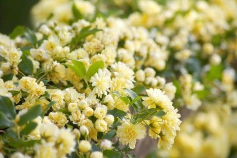 モッコウバラ(木香薔薇) 花 黄色