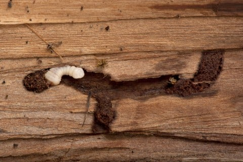 カミキリムシ 被害 穴 木 幹