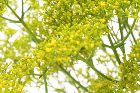 女郎花 オミナエシ 花 黄色