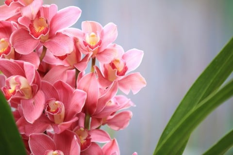 シンビジウム 花 アップ