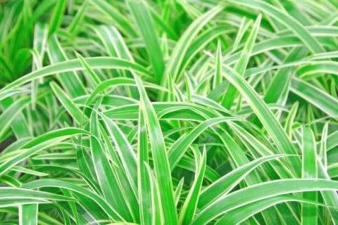 オリヅルラン 外斑折鶴蘭 ソトフオリヅルラン