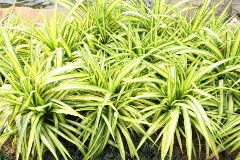 オリヅルラン 中斑折鶴蘭 ナカフオリヅルラン