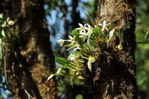 セッコク 花 木