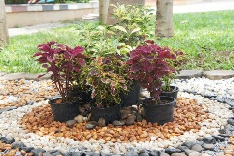 コリウス 葉っぱ 寄せ植え
