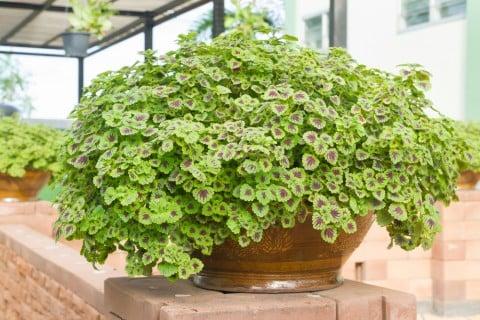 コリウス 葉っぱ 鉢