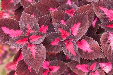 コリウス 葉っぱ 赤 紫