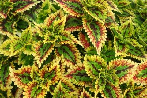 コリウス 葉っぱ 緑