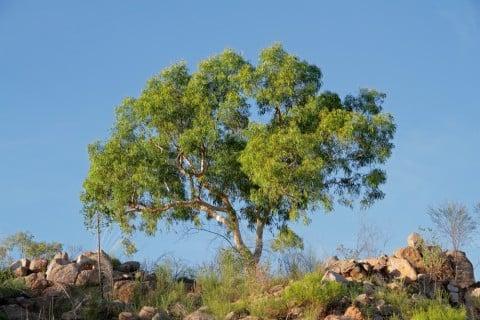ユーカリ オーストラリア 木