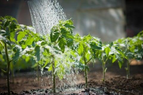トマト 水やり
