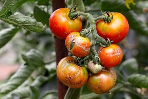 トマト 病気
