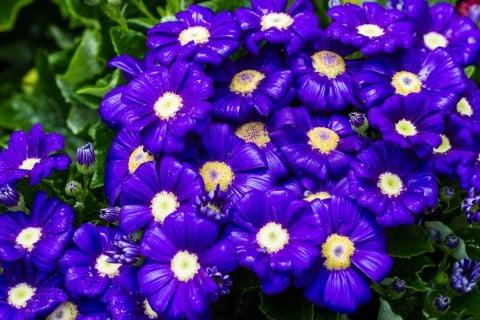 サイネリア 花