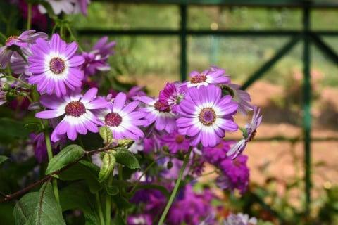 サイネリア 花がら