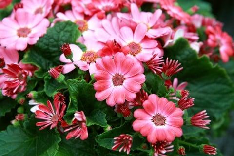 サイネリア ピンク