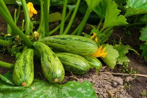 ズッキーニ 地植え 野菜