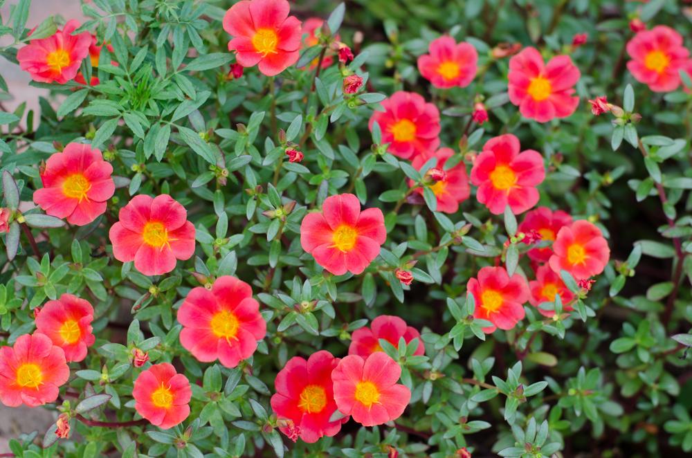 ポーチュラカ(ハナスベリヒユ) 花