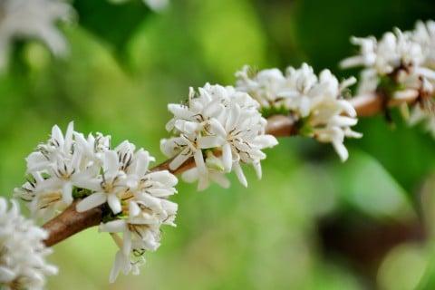 コーヒーの木 花