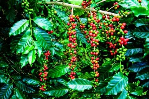 コーヒーノキ 実 赤色