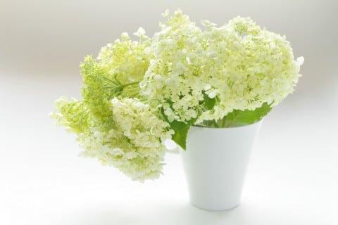 アジサイ アナベル 花瓶 切り花