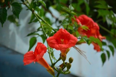 ノウゼンカズラ 花