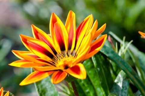 夏の花ガザニア