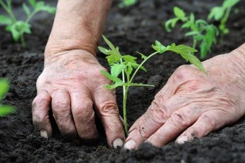 苗植え 黒土
