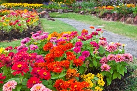 ジニア 百日草 花壇