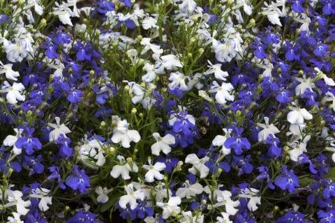 ロベリア 青 白 花