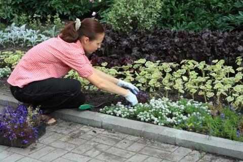 ロベリア ピンク 花 苗植え