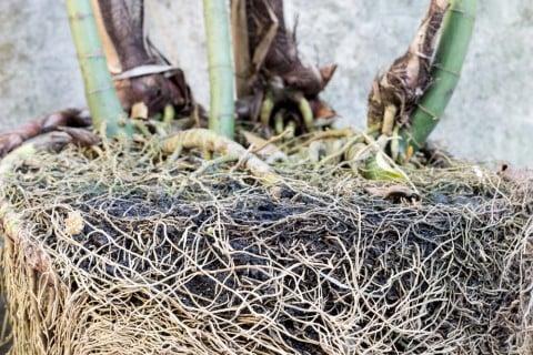 シュロチク 株分け 根っこ 鉢 棕櫚竹