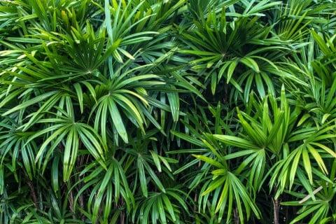 棕櫚竹 葉っぱ 緑 シュロチク いっぱい