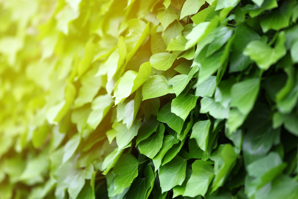 観葉植物 アイビー(ヘデラ)