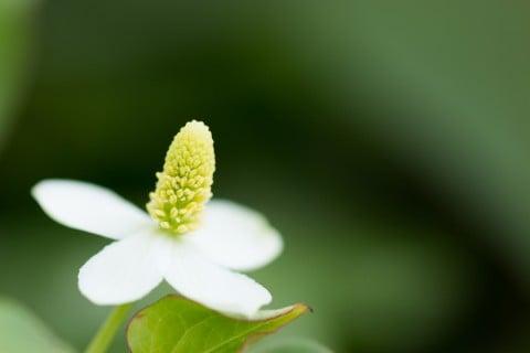 ドクダミ 花