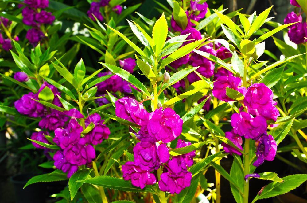 ホウセンカ 鳳仙花 花 紫