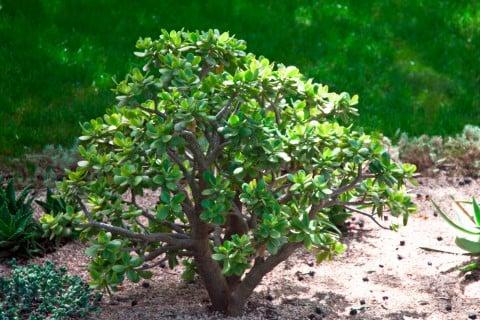 クラッスラ 多肉 植物 多肉植物 カネノナルキ クラッスラ 金のなる木